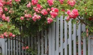 Climbing Perennials – 4 Great Plants For Fences, Arbors and More!