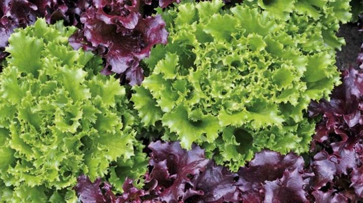growing loose leaf lettuce