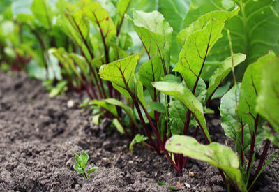 grow beets