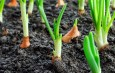 Growing Onions – How To Plant, Maintain and Harvest A Great Crop