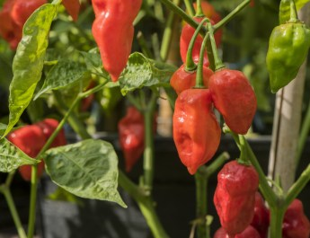 Growing Hot Peppers – The Spicy Side Of Gardening!