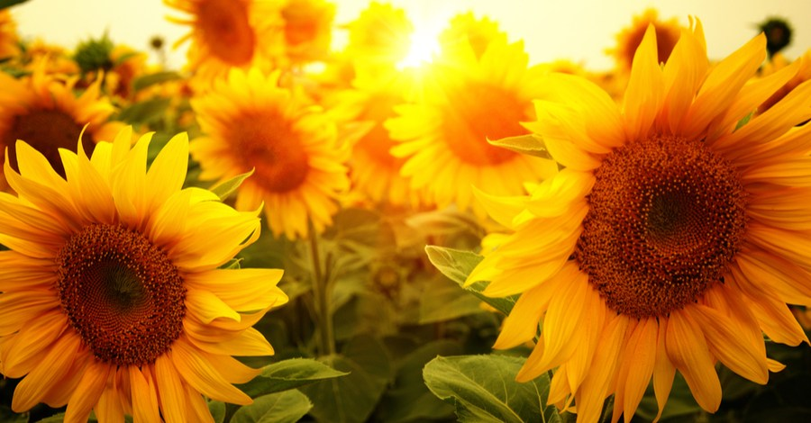 Growing Sunflowers – Gorgeous Varieties For Any Landscape!