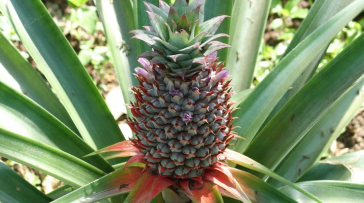 growing pineapple plants