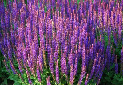 purple perennials