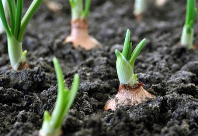 planting fall onions