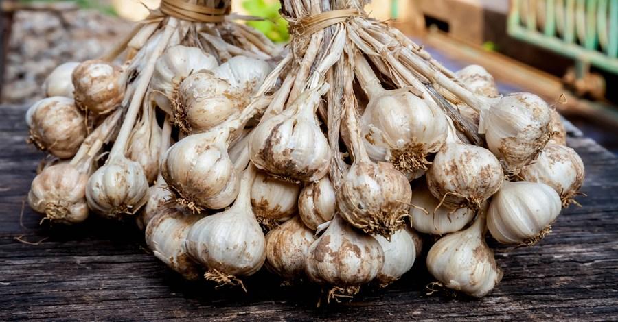 Growing Garlic – How To Plant Hardneck Garlic This Fall!