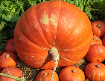 growing huge pumpkins