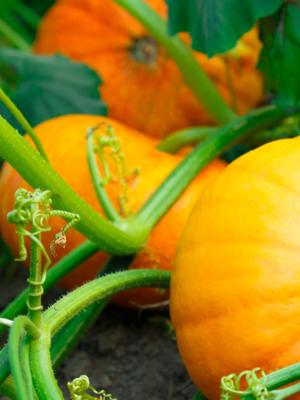 Growing Huge Pumpkins