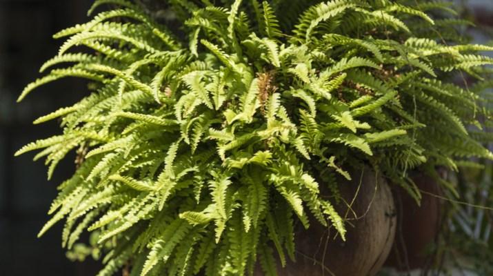 bringing ferns indoors