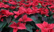 Poinsettia Care – Keeping Poinsettias Alive Before And After Christmas!