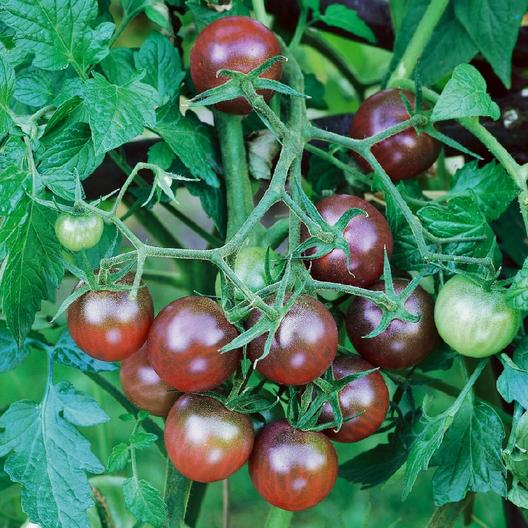 growing heirloom tomatoes