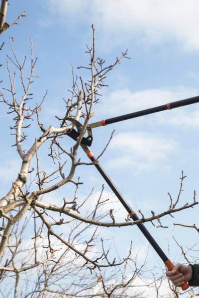 prune fruit trees