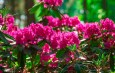 Planting & Growing Rhododendrons – Add Big Color To Your Landscape!