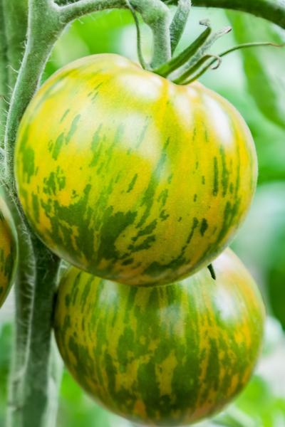 determinate vs. indeterminate tomatoes