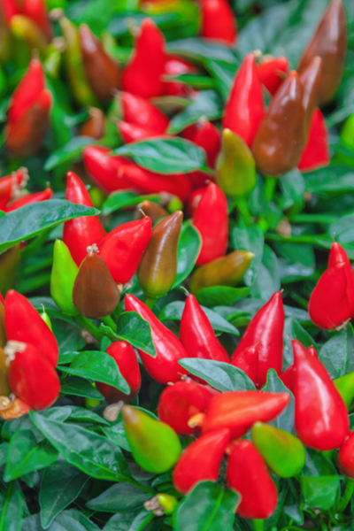 ornamental peppers for planting hanging baskets