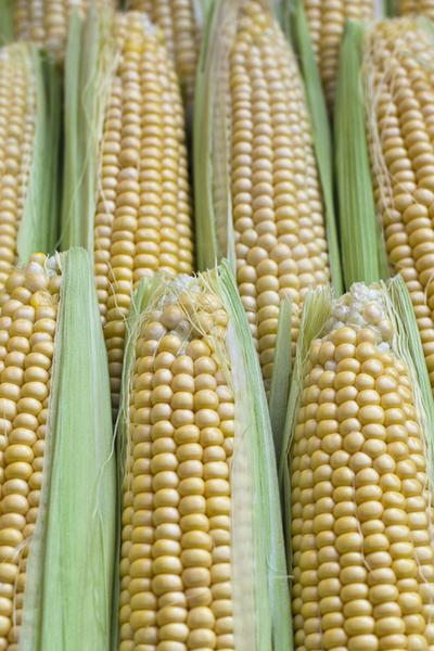 growing heirloom sweet corn