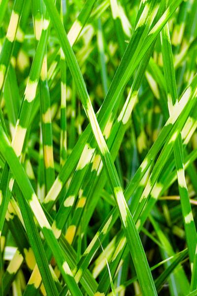 dividing ornamental grasses