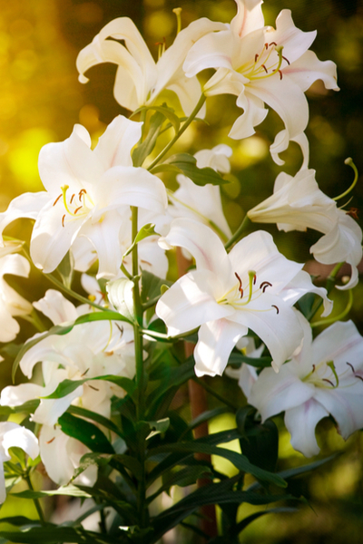 Easter lily plant in the landscape