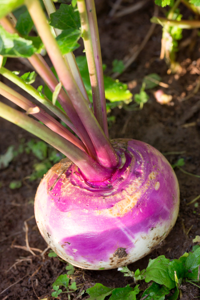 growing turnips from seed