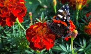 Growing Marigolds In The Vegetable Garden – The Ease, Beauty And Benefits!