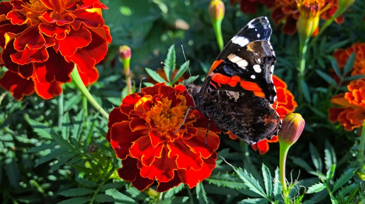benefits of growing marigolds