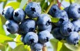 Planting Blueberry Bushes – How To Grow Delicious Blueberries!