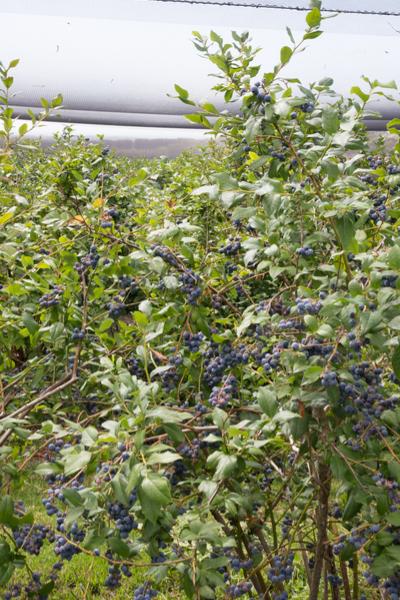 high bush variety
