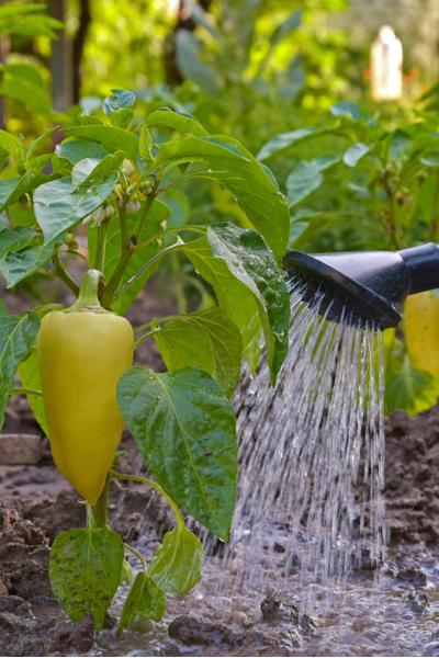 watering the garden - peppers