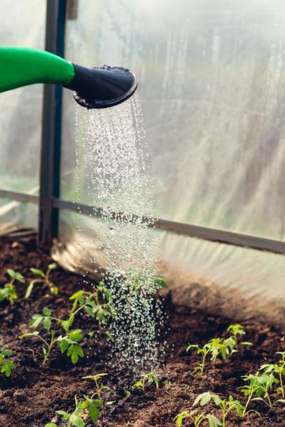 watering the garden -transplants