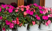 Growing Impatiens – How To Keep Impatiens Looking Great All Summer!