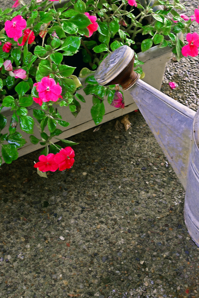 watering annuals