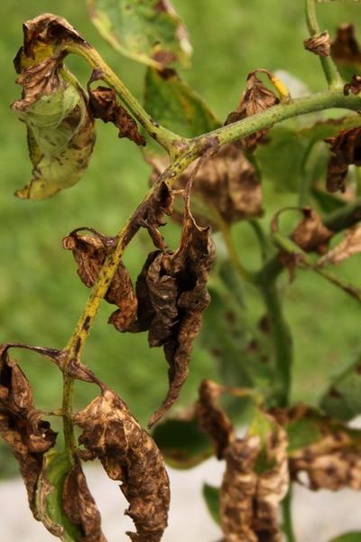 diseases tomato plant