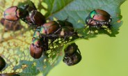 How To Stop Japanese Beetles From Destroying Plants, Trees & Bushes