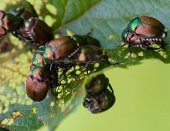 stop japanese beetles