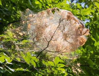 how to control webworms