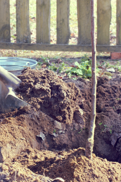 How To Plant Fruit Trees - And Why Fall Is The Best Time To