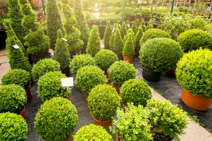 evergreen shrub varieties