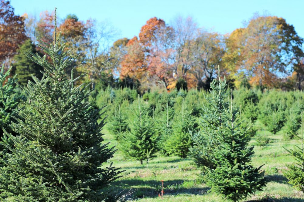 Yetter Christmas Tree Farm Mystic