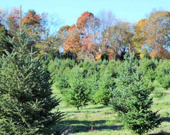 Yetter Christmas Tree Farm Mystic