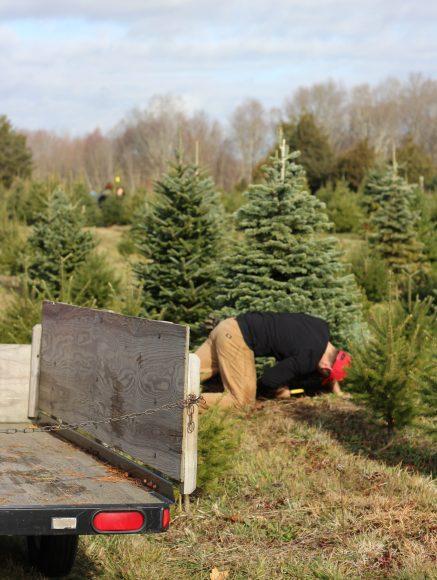 Fresh cut Christmas tree at Yetter