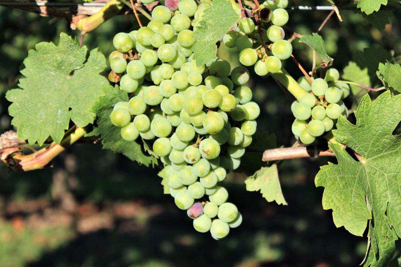 Jonathan Edwards Grapes