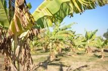 The small banana garden