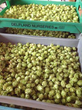 Grow Beer Sutton Hop Harvest 2016