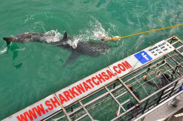 Pau cara a cara con el tiburon blanco