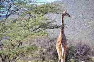 jirafa reticulada samburu