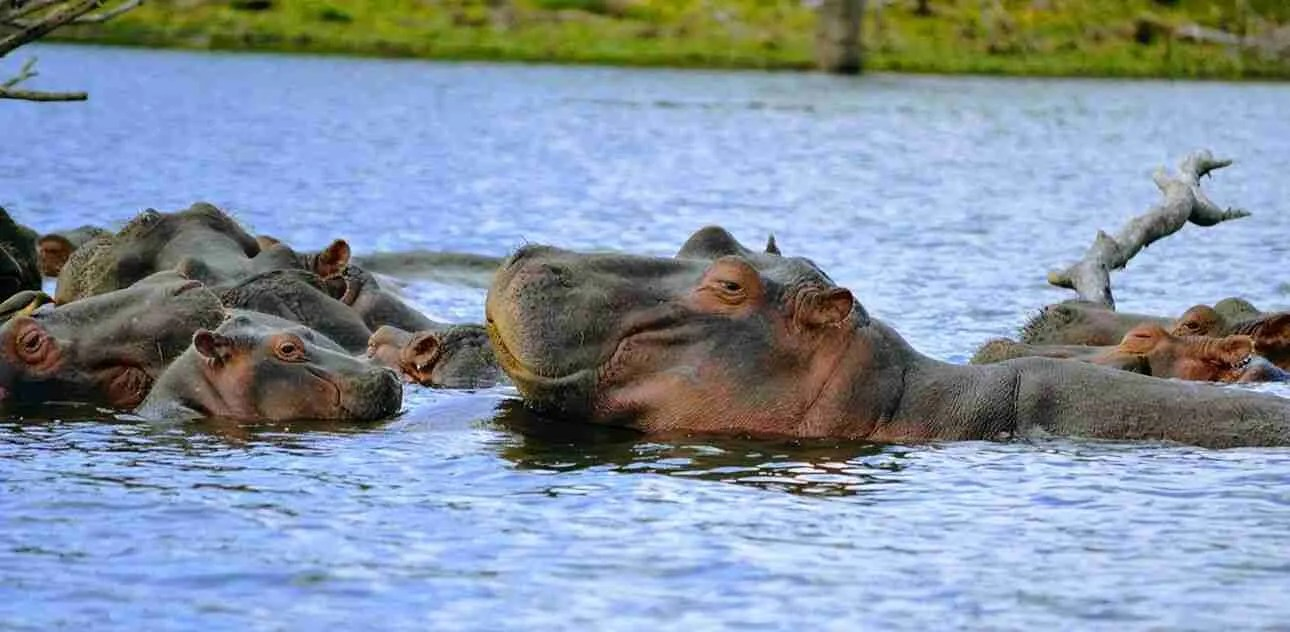 hipopotamos familia