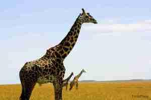 manada de jirafas en masai mara