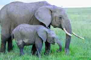 elefantes de masai mara