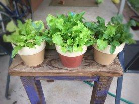 lettuce pots