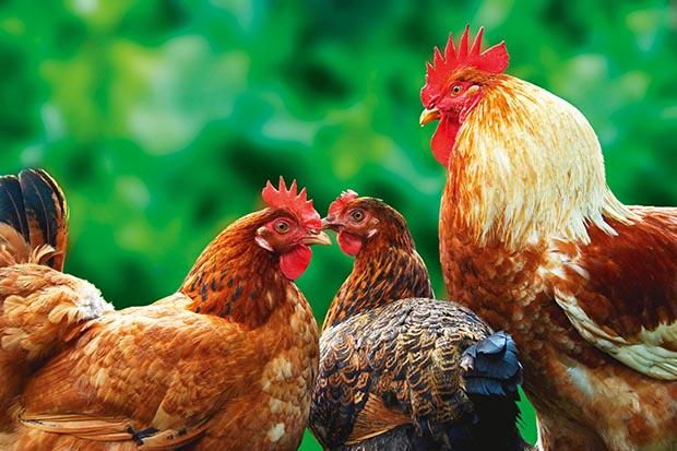 Hierarchy in Chickens